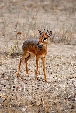 250px-dik-dik_male_-tarangire_national_park_-tanzania